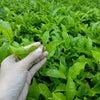Foto Agrowisata Kebun Teh Tambi, Kejajar