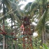 Foto Sabut kelapa outbound, Cileungsir