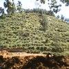 Foto Perkebunan Teh Jamus, Ngrambe