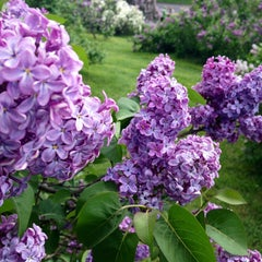Photo taken at Highland Park Lilacs by Martin G. on 5/12/2013