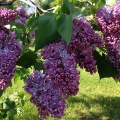 Photo taken at Highland Park Lilacs by Dave v. on 5/18/2013