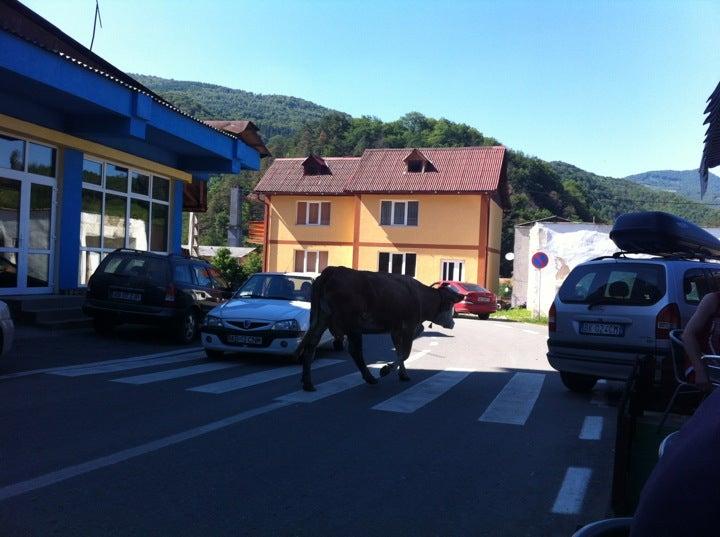 vaca traverseaza pe trecerea de pietoni