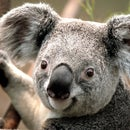 Koala Muay