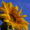 happy_sunflower